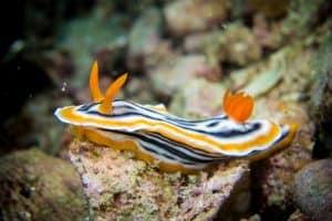 nudibranch Thresher Shark Divers Malapascua Island