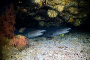Whitetip Sharks Malapascua