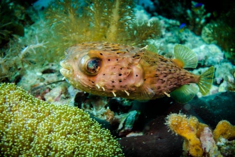 Blow fish Malapascua Island