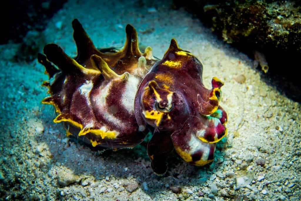 Flamboyant cuttle fish Thresher Shark Divers Malapascua Island