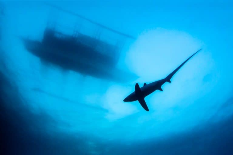 Thresher Shark under the boat on Malapascua Island