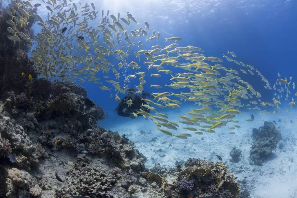 Schooling fish Malapascua