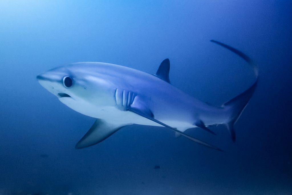 Malapascua Thresher Shark