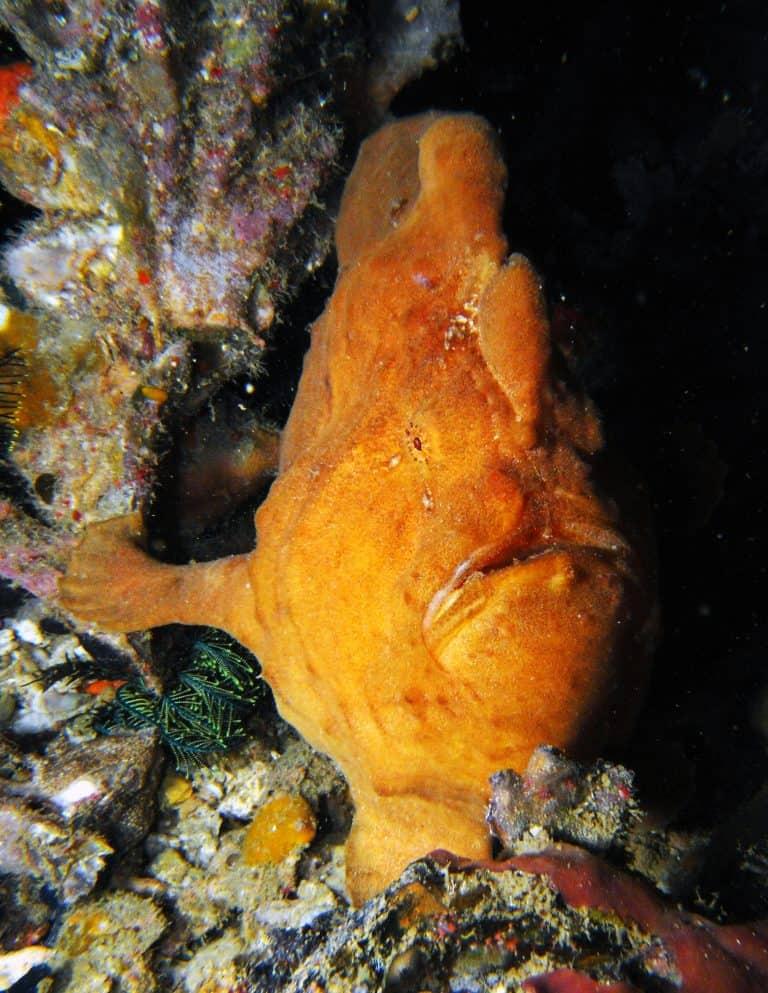 frogfish Thresher Shark Divers Malapascua Island
