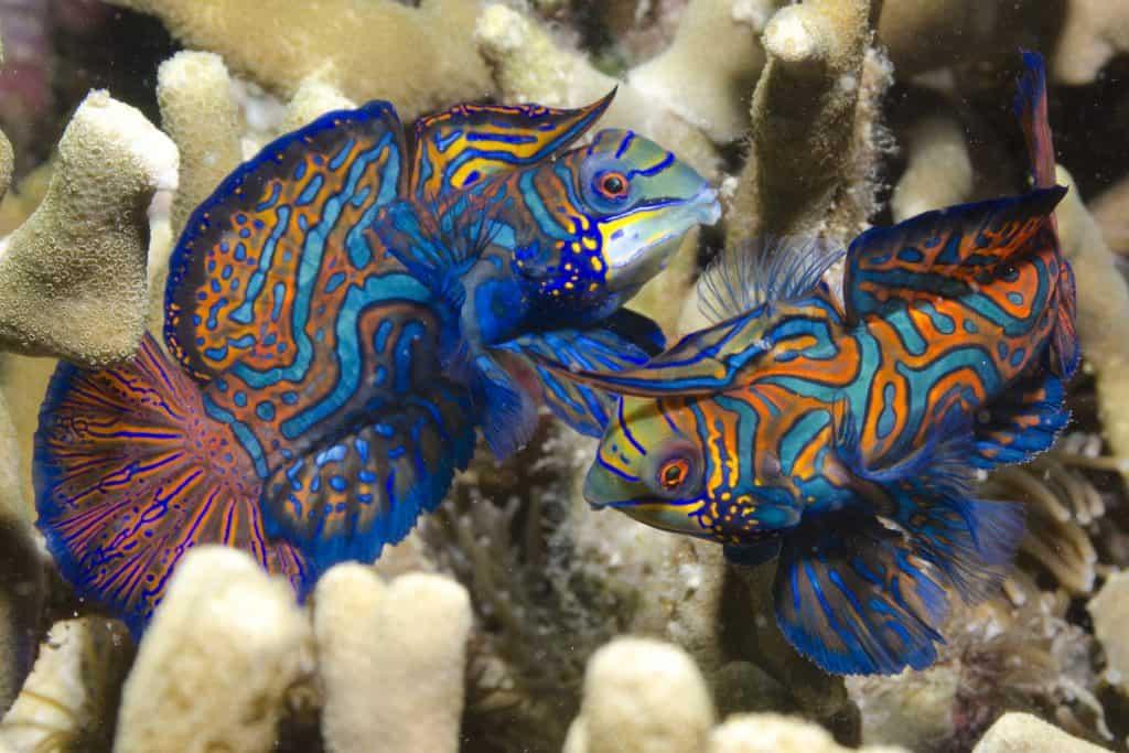 Mandarin fish Malapascua