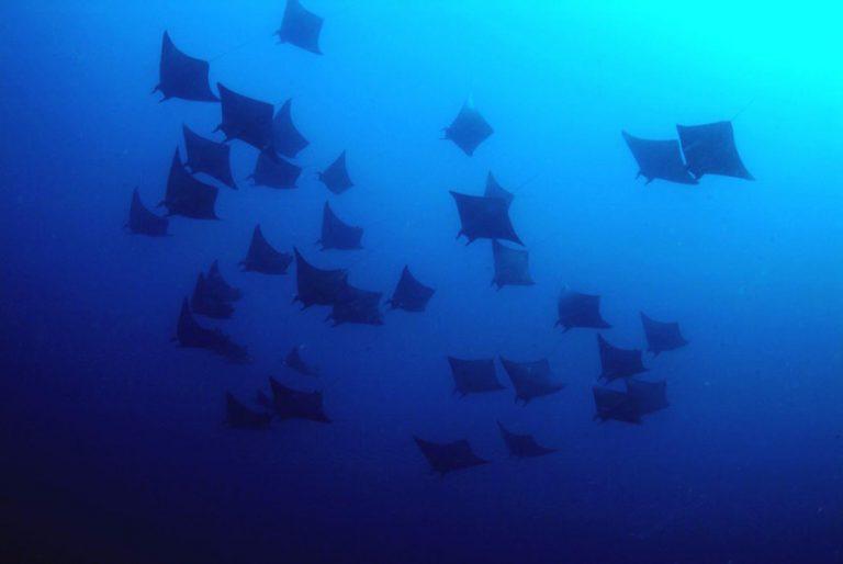 Devil Rays Malapascua Island