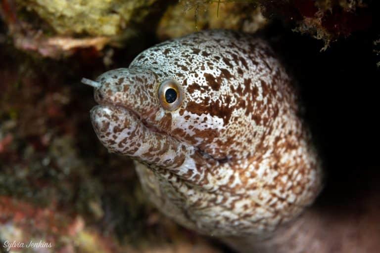 Spotted Moray eel on Malapascua Island