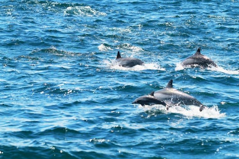 Dolphins Malapascua